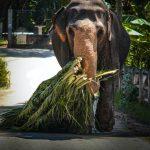 Elephant Carries Grass, DMC Sri Lanka